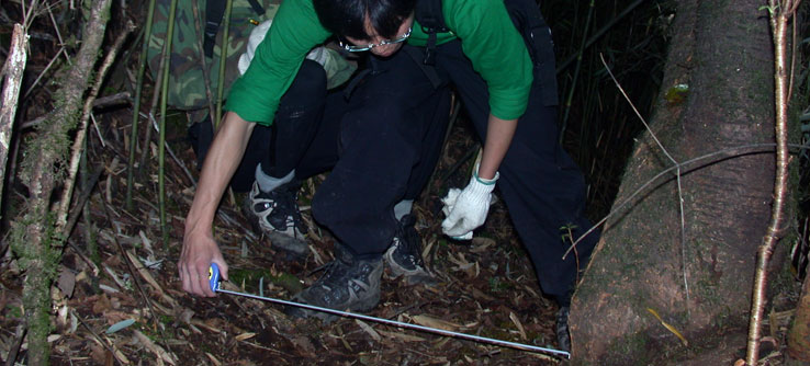 A volunteer takes measurements in panda habitat.